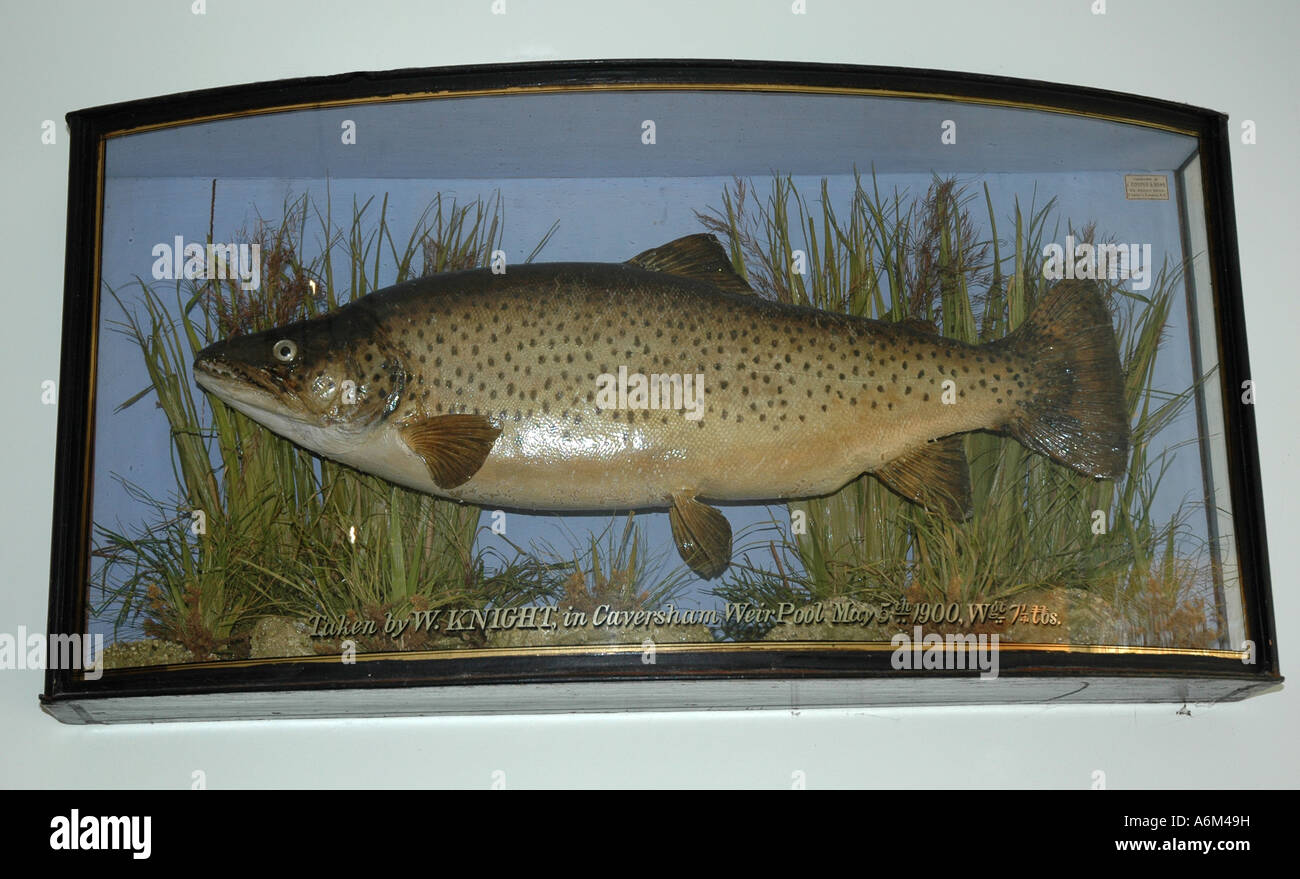 Stuffed trout fish in display cabinet caught 1900 at Caversham Lock, Berkshire, England, UK Stock Photo