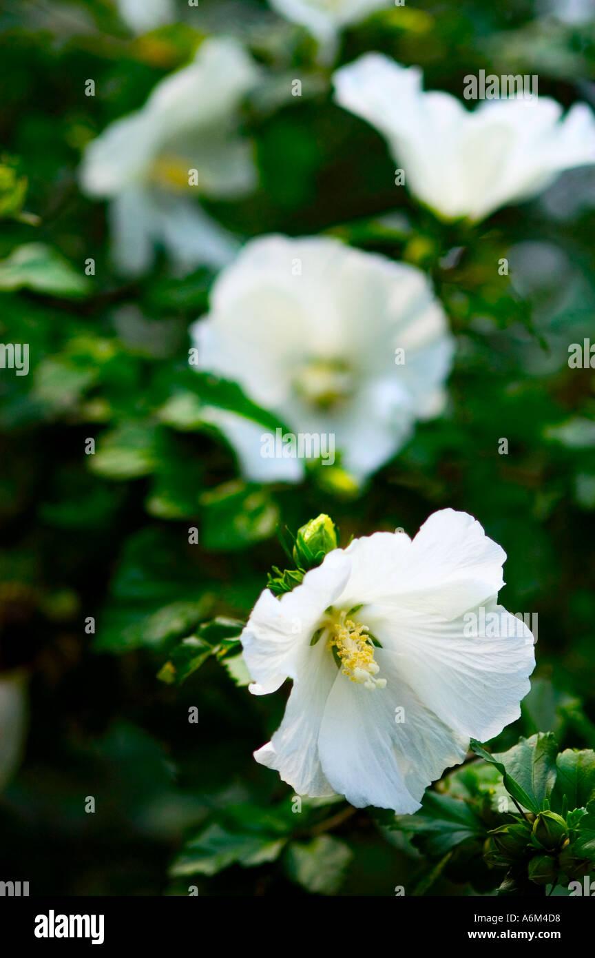 Rose Of Sharon Hibiscus Syriacus Diana Stock Photo 2147543 Alamy