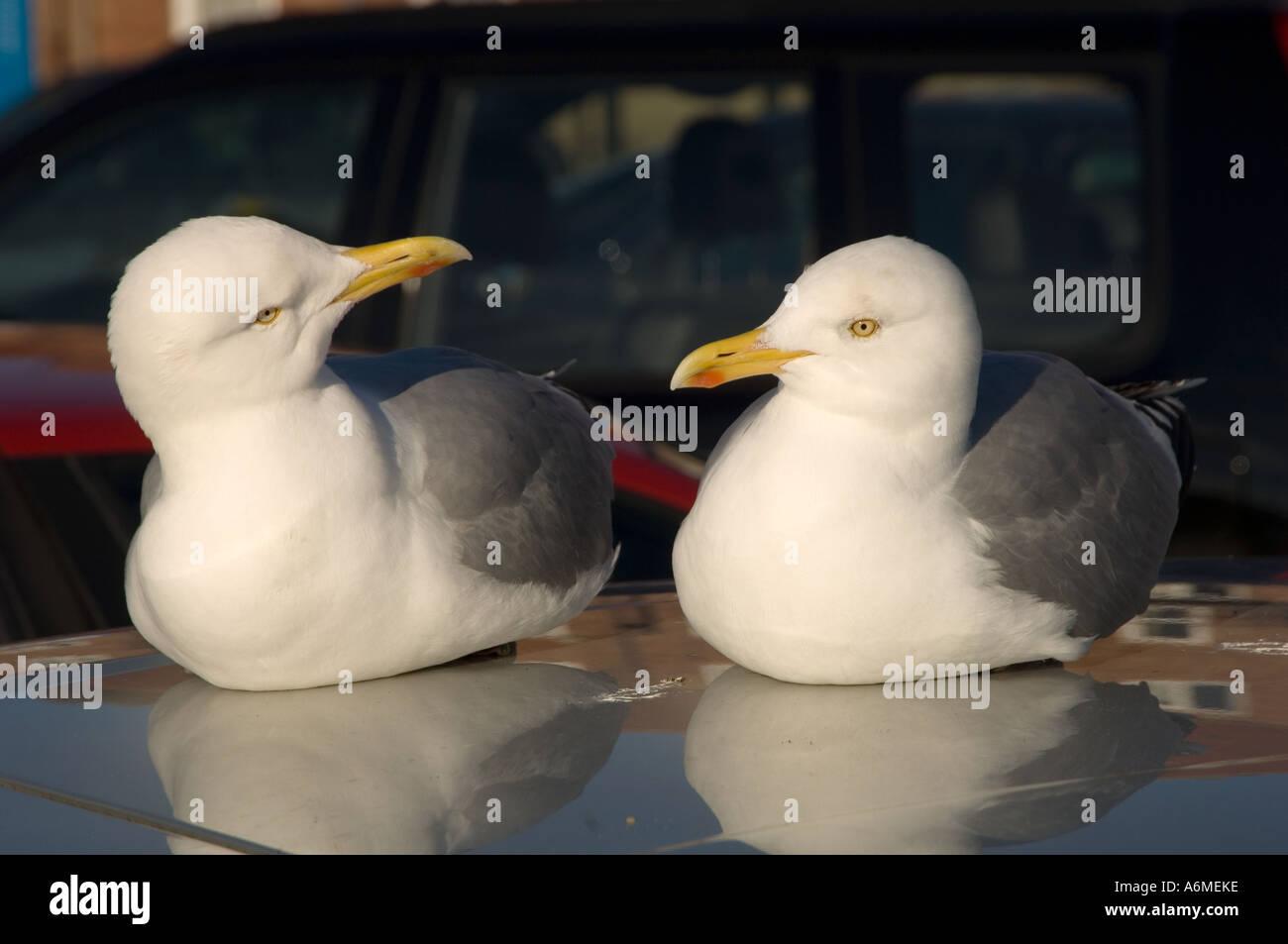 Two Herring gulls at British seaside resort. Stock Photo