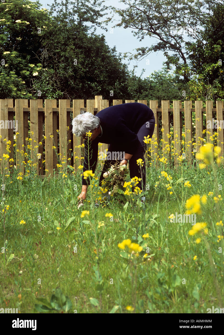 Garden weeds uk stock photos garden weeds uk stock images alamy weeding a new lawn senior woman bending over pulling plants out of ground in garden in mightylinksfo