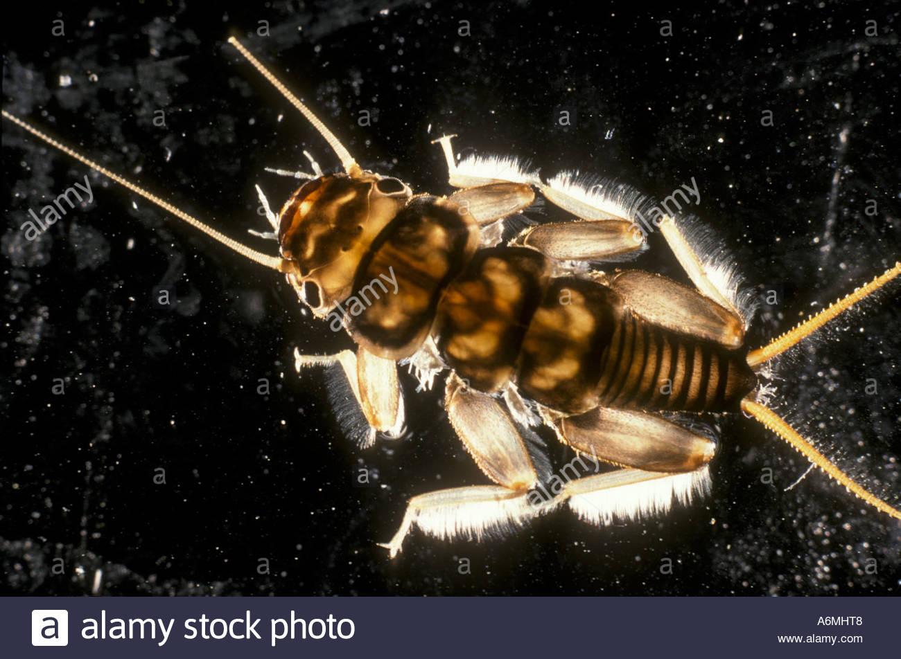 Stonefly nymph larva plecoptera aquatic insect - Stock Image