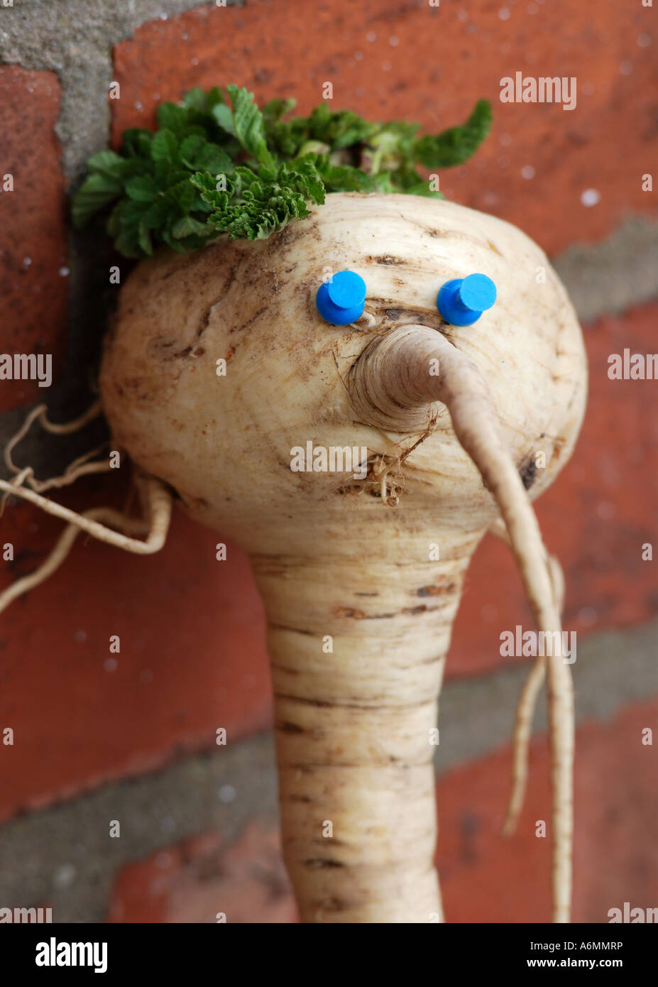 Parsnip with blue eyes - Stock Image