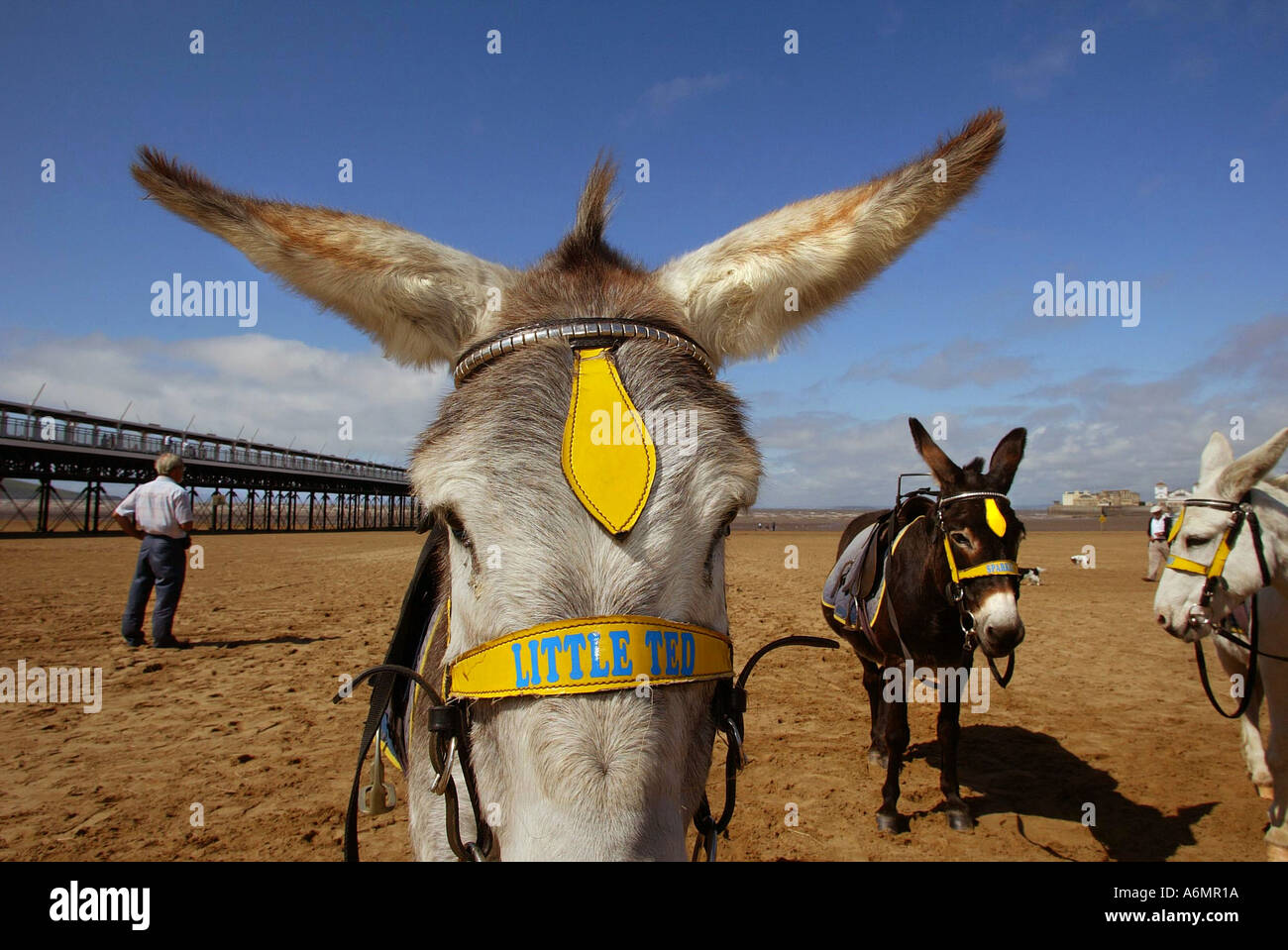 Little Ted waits for tourists with two other donkeys on the beach at Weston Super Mare in Somerset UK - Stock Image