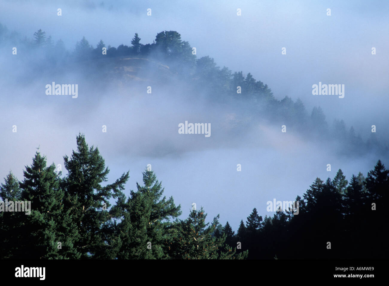 Coastal fog in morning and trees on the forest hillsides and ridges near Mount Tamalpais State Park Marin California Stock Photo