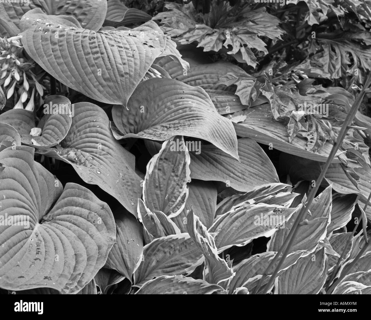 Hosta and acanthus leaves after rain shot in black and white - Stock Image