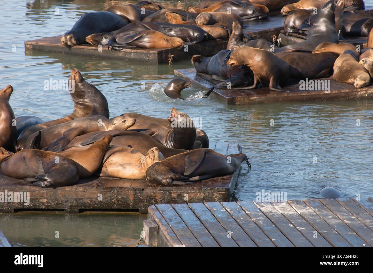 Seals On Floats As Fisherman S Wharf San Francisco Bay California Stock Photo Alamy