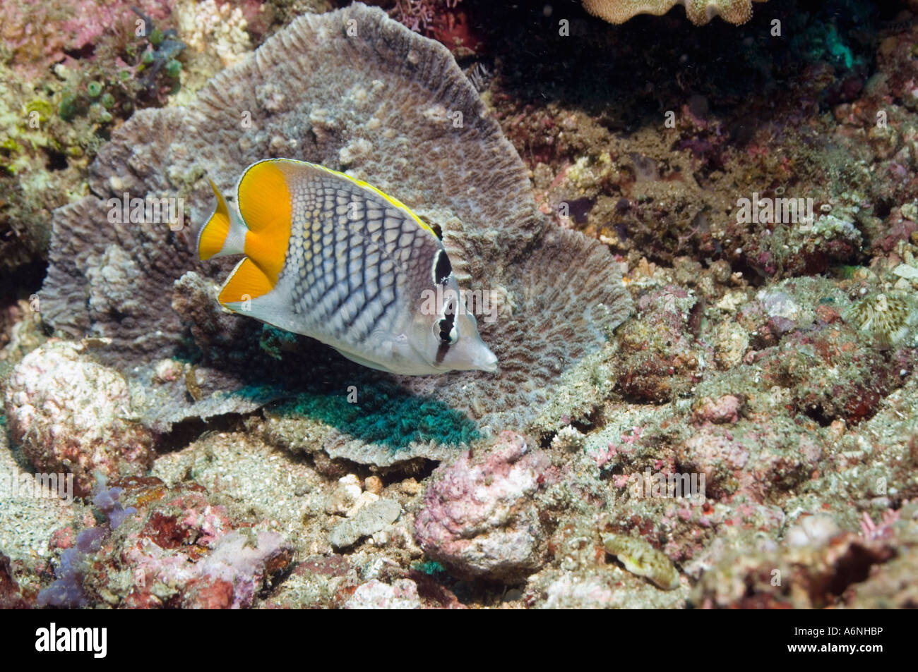 Cross hatched butterflyfish - Stock Image