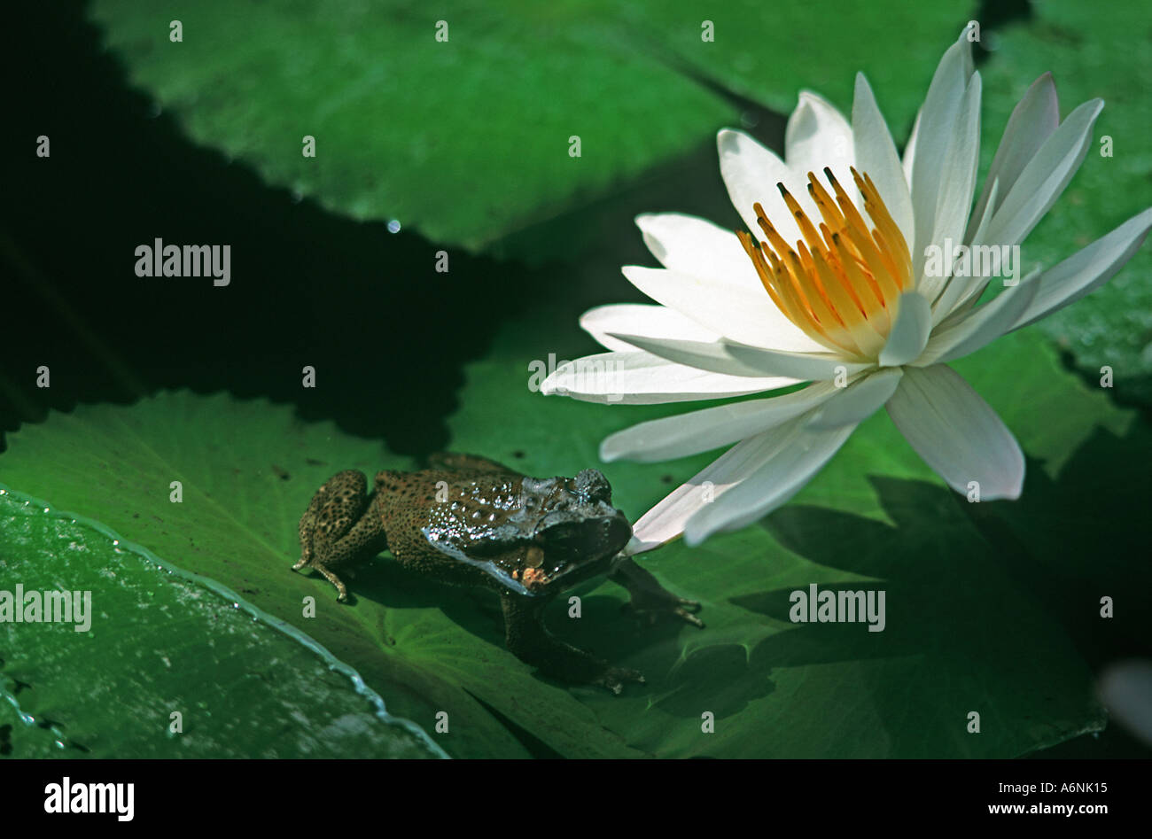 Frog perched on the leaves of a water lilly chewing on the petals of the flower Ubud Bali Indonesia - Stock Image