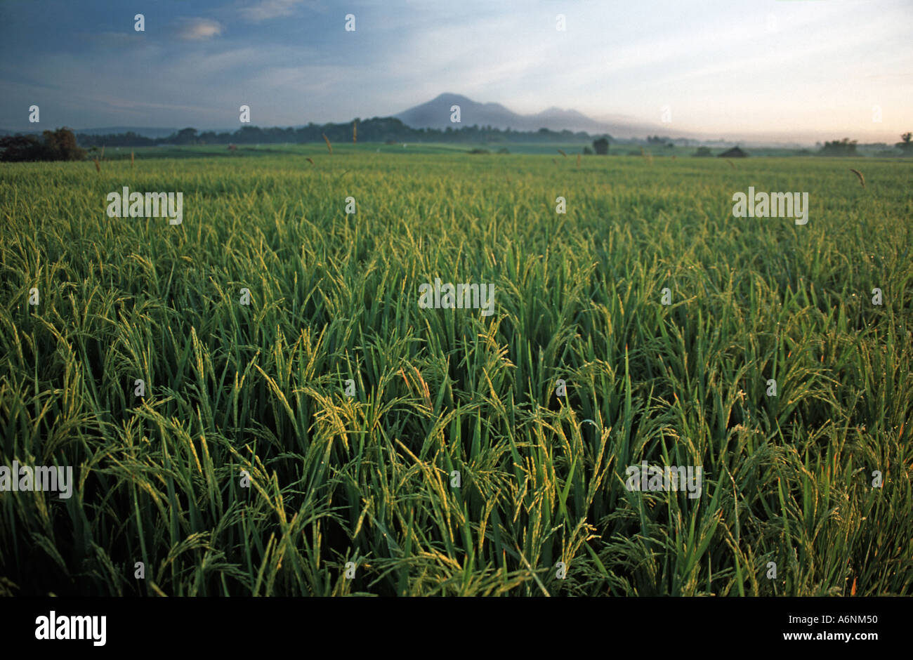 Rice fields at dawn Gunung Batukau in the distance Inland of Yeh Gangga Bali Indonesia - Stock Image