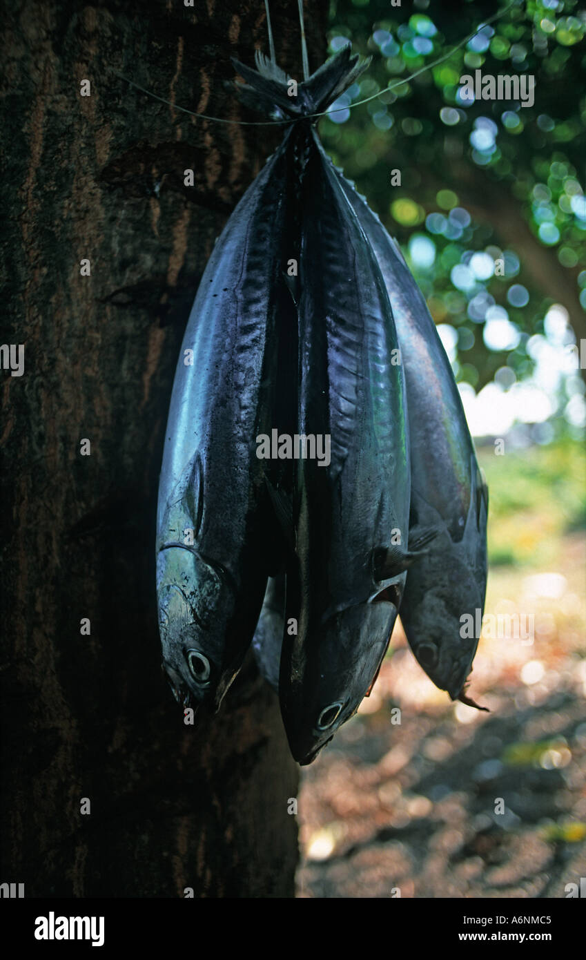 Fresh tuna catch hanging under a tree in the fishing resort of Amed Bali Indonesia - Stock Image
