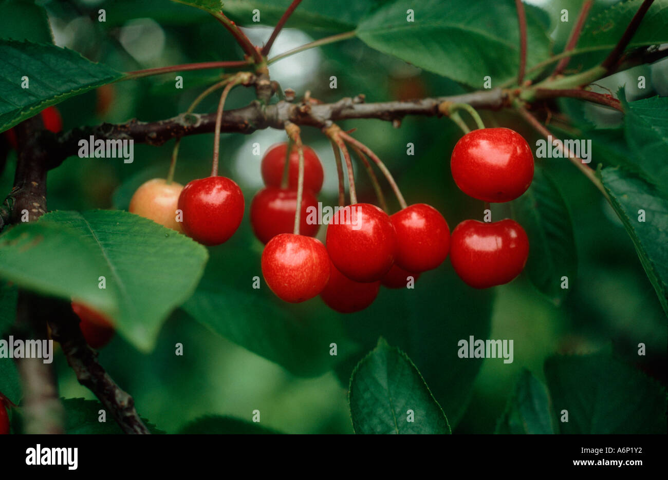 Cherry variety Merton Favourite fruit - Stock Image