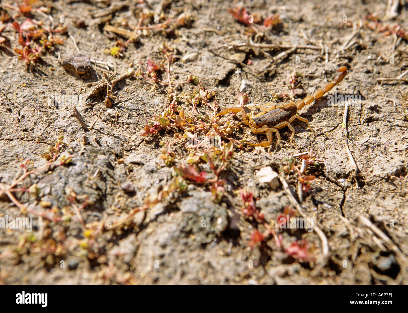 Striped bark scorpion Centruoides vittatus in Texas Stock Photo