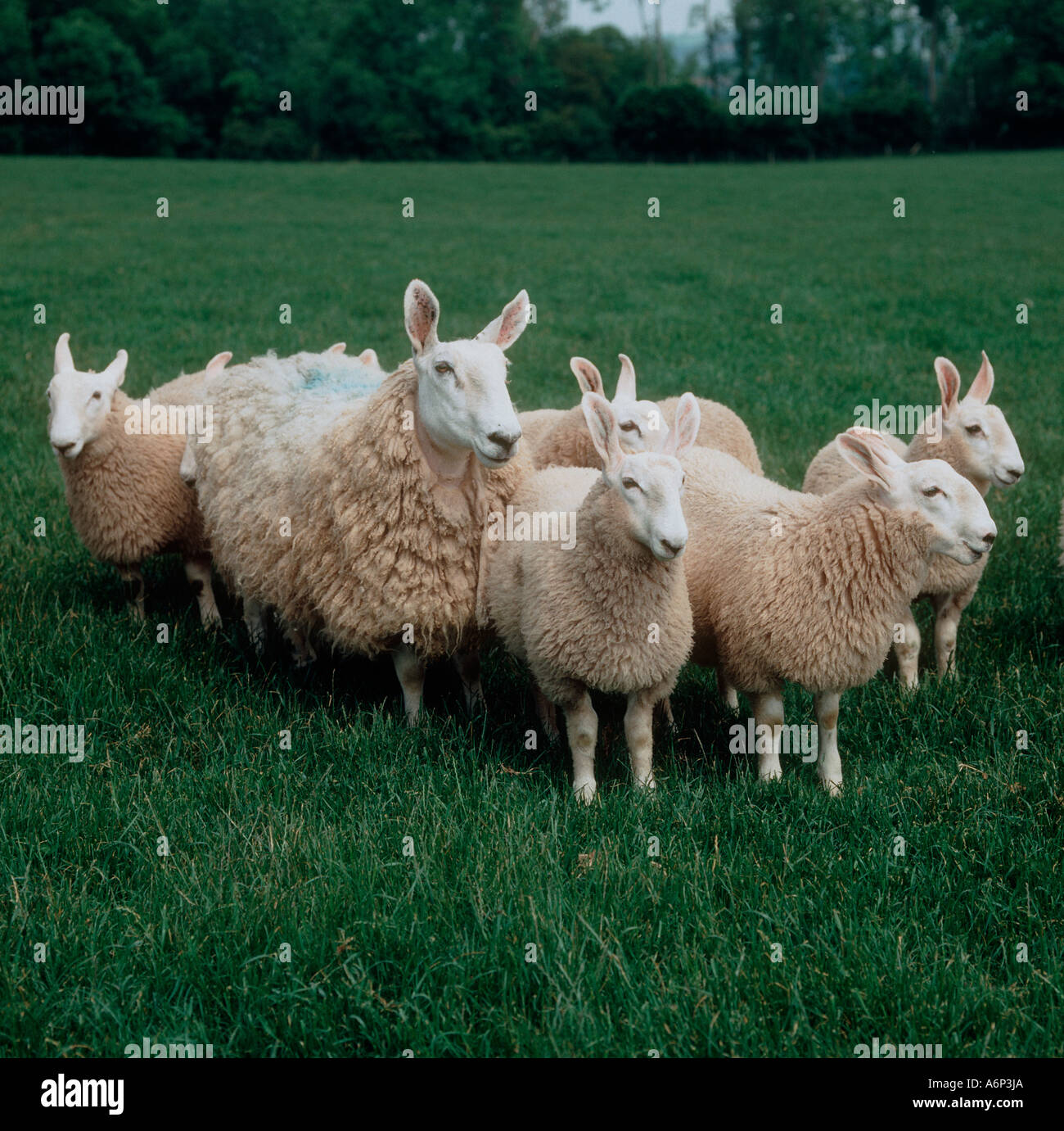 Border Leicester ewe and ewe lambs on Herefordshire pasture - Stock Image