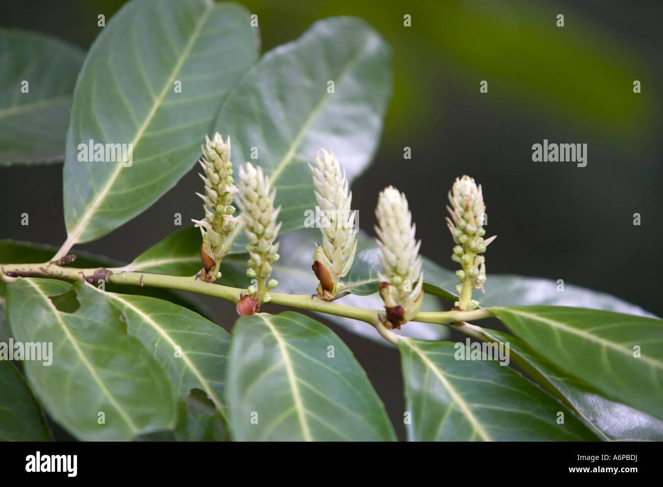 Laurel in flower (Prunus laurocerasus) Stock Photo