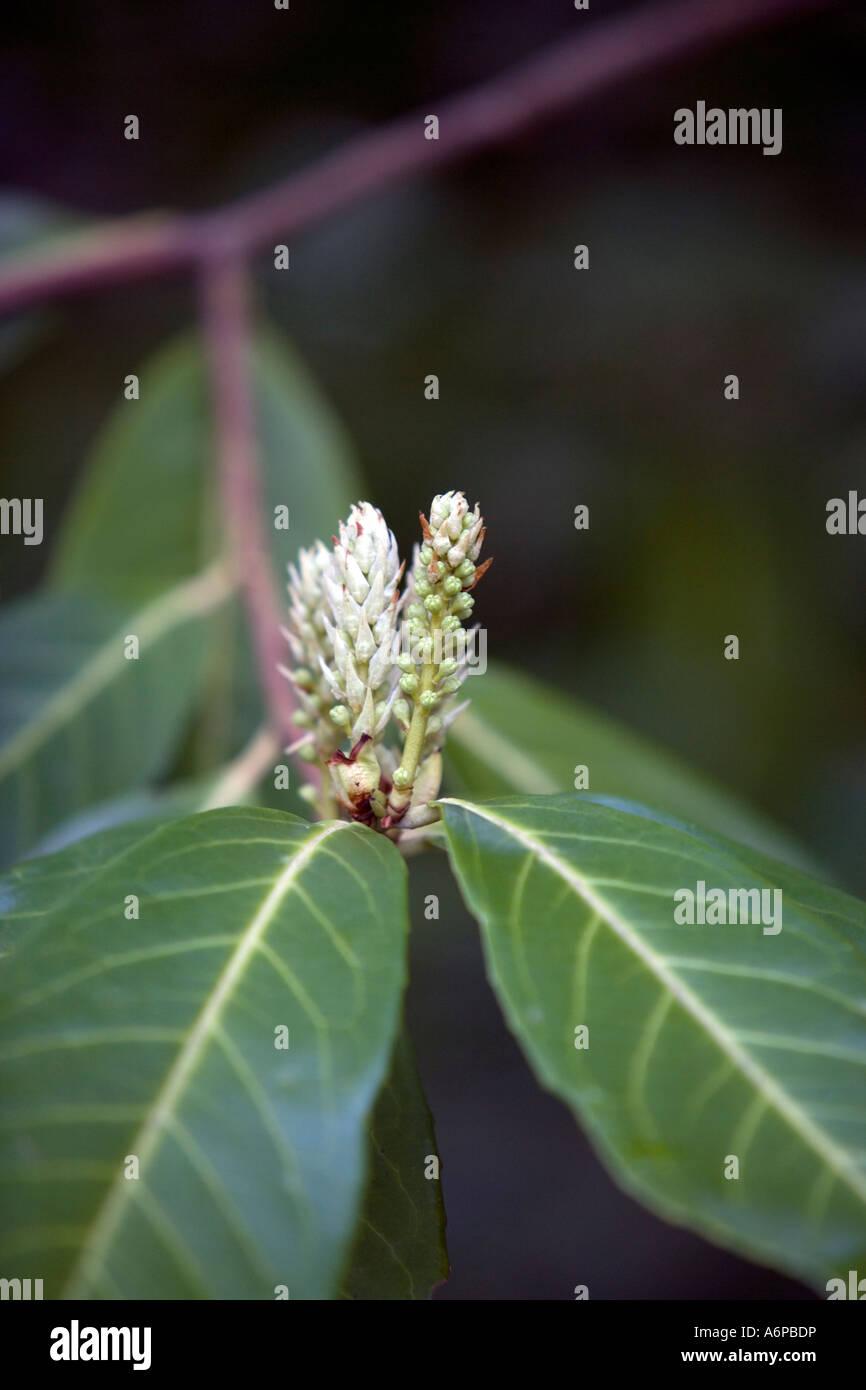 Laurel in flower (Prunus laurocerasus) - Stock Image