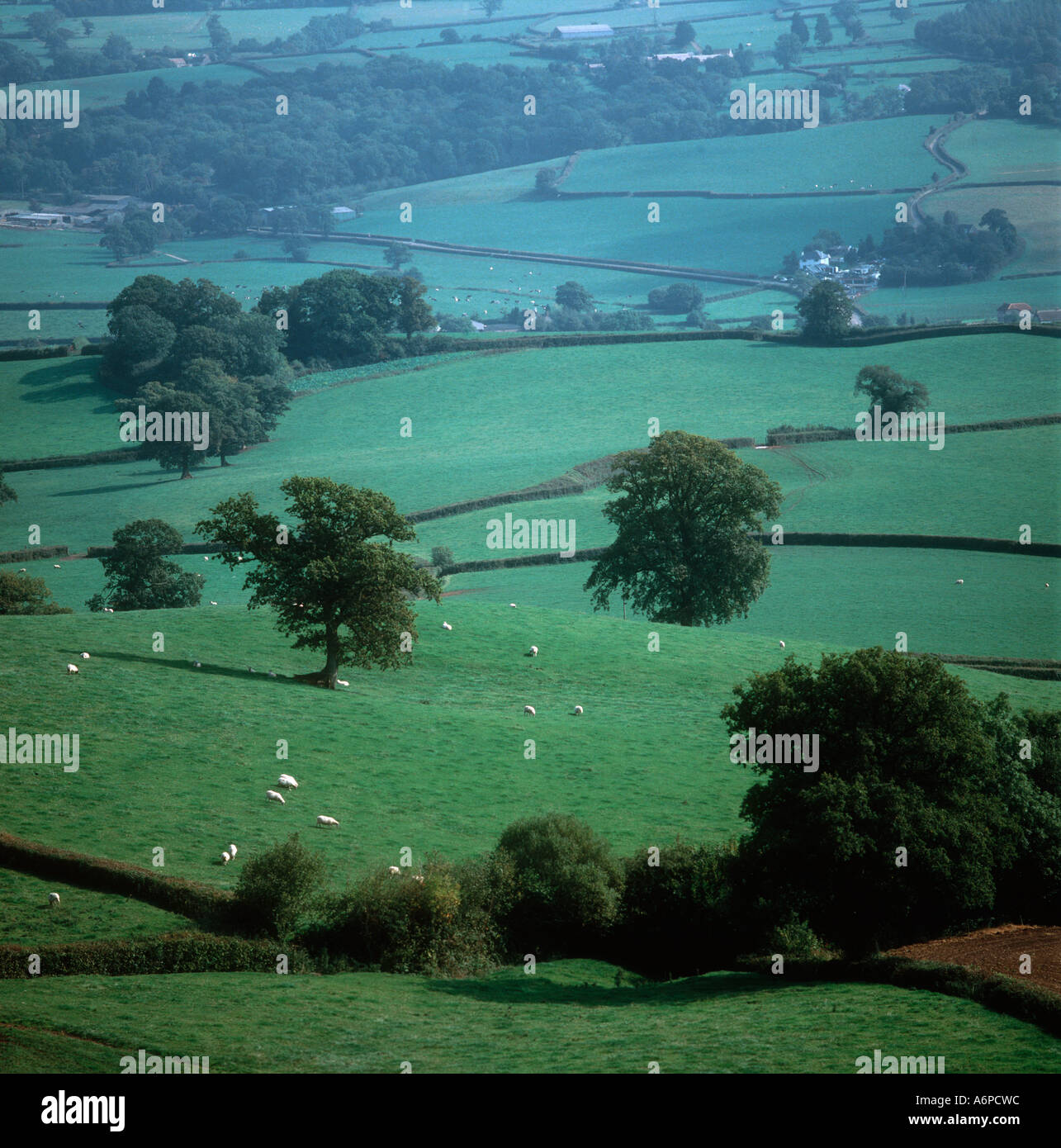 Devon valley farmland with sheep trees and neat hedgerows - Stock Image