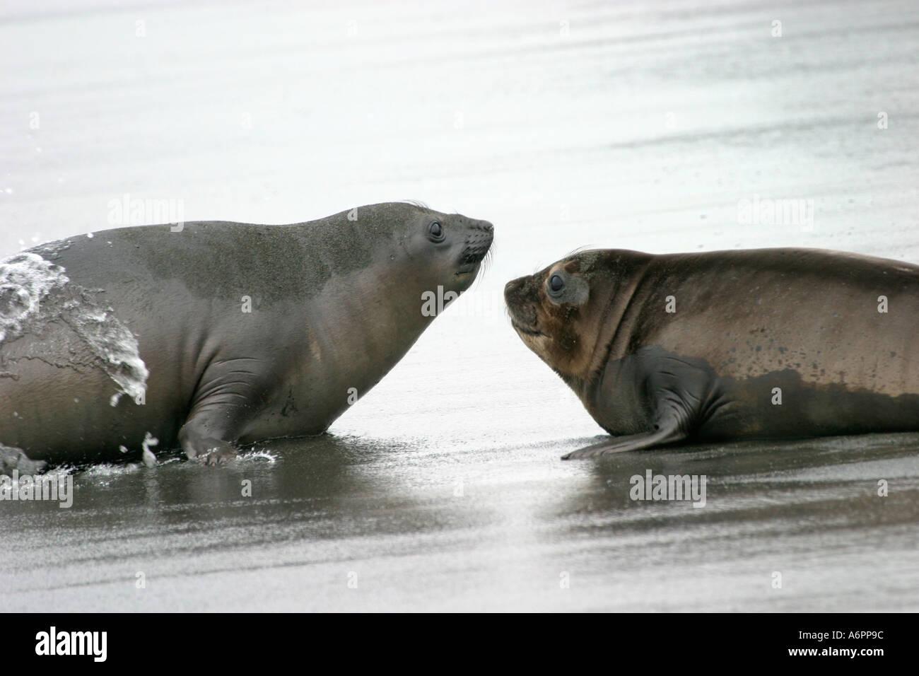 Elephant Seal pups, South Georgia Island, Southern Atlantic Ocean - Stock Image