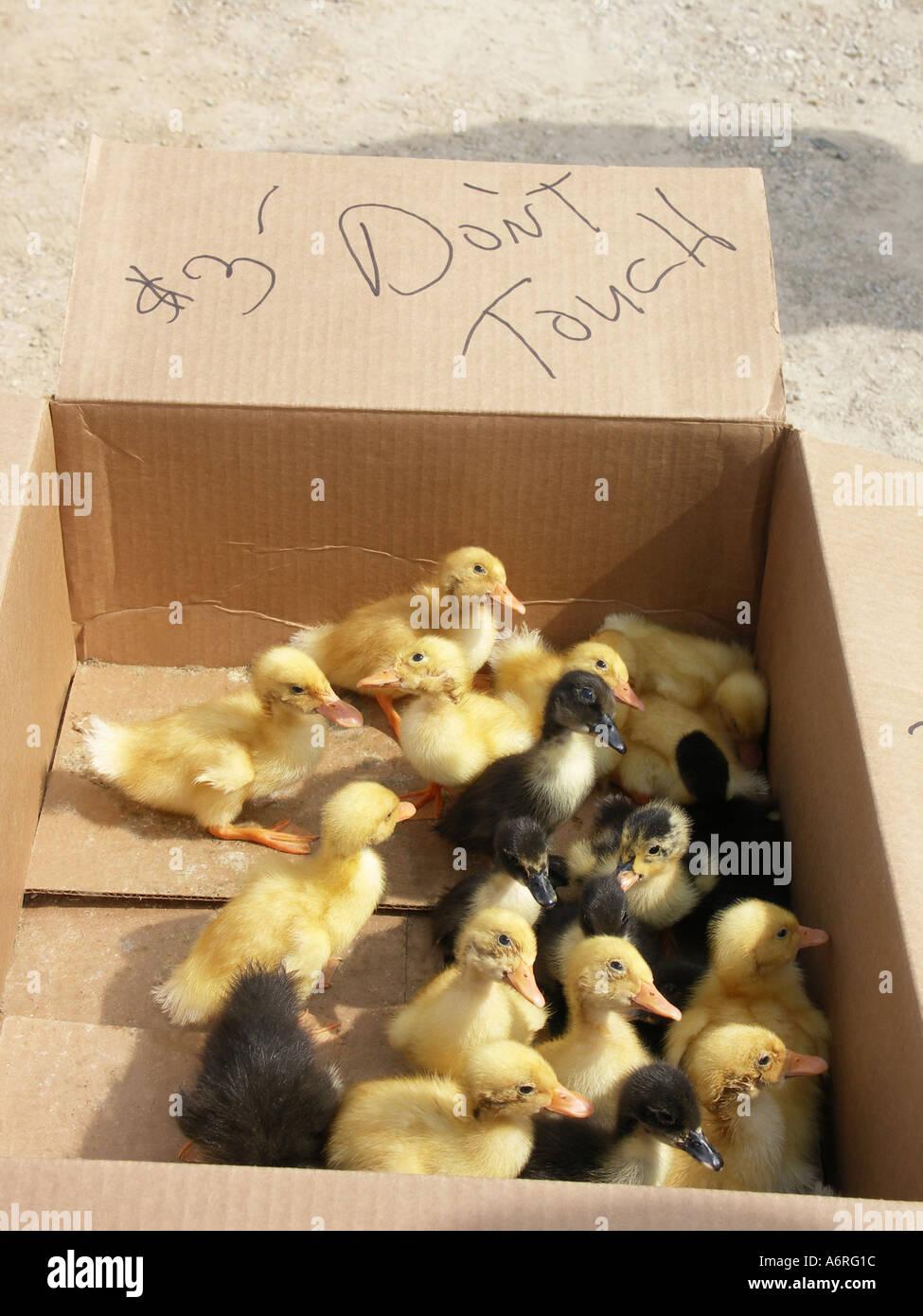 Three Little Yellow Ducks Stock Photos & Three Little Yellow Ducks ...