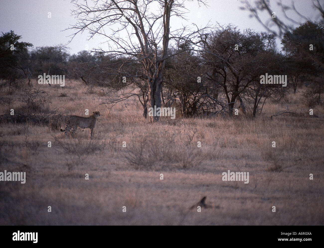 Cheetah Camouflage In Long Grass Kruger Park South Africa