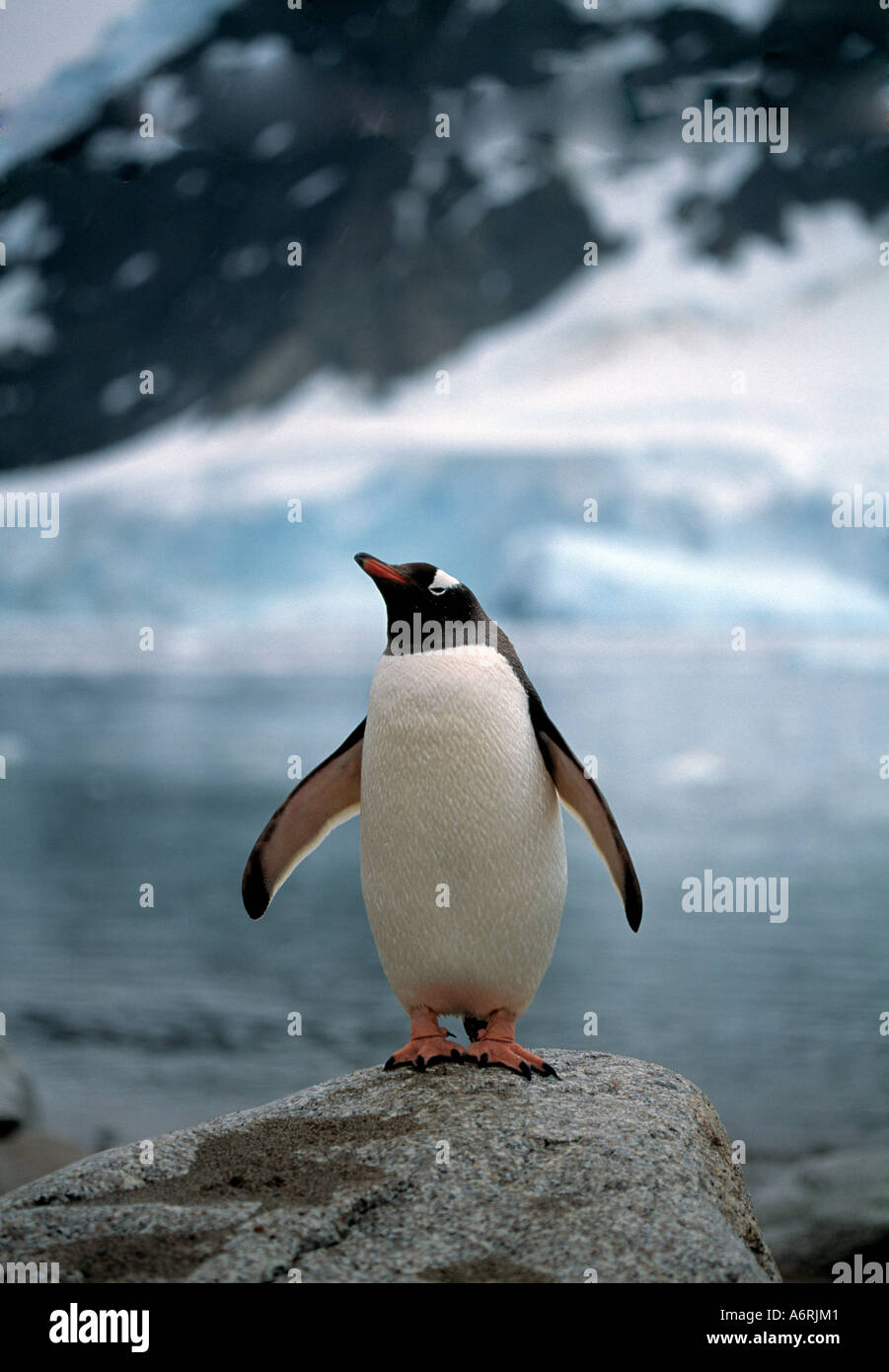 antartic, antartica, ice continent, frozen continent, cold continent, penguin  standing on rock, polar - Stock Image