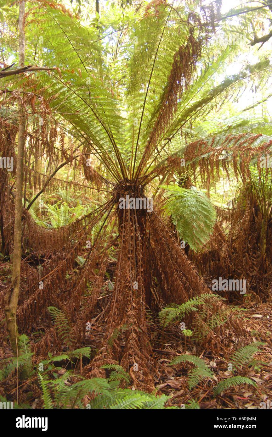 Tree fern in temperate rain forest, Otways NP Australia - Stock Image