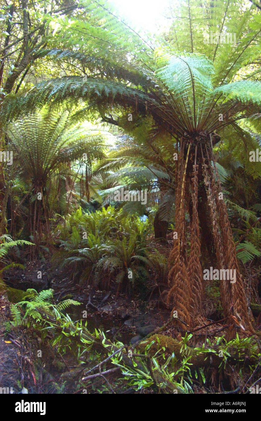 Tree ferns in temperate rain forest, Otways NP Australia - Stock Image