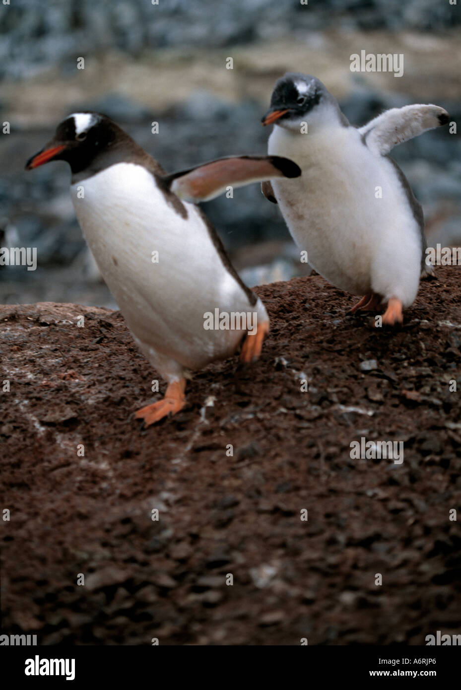 adult penguin running down hill followed by her chick with left foot forward on the antarctic  antarctica, antartic, continent, - Stock Image