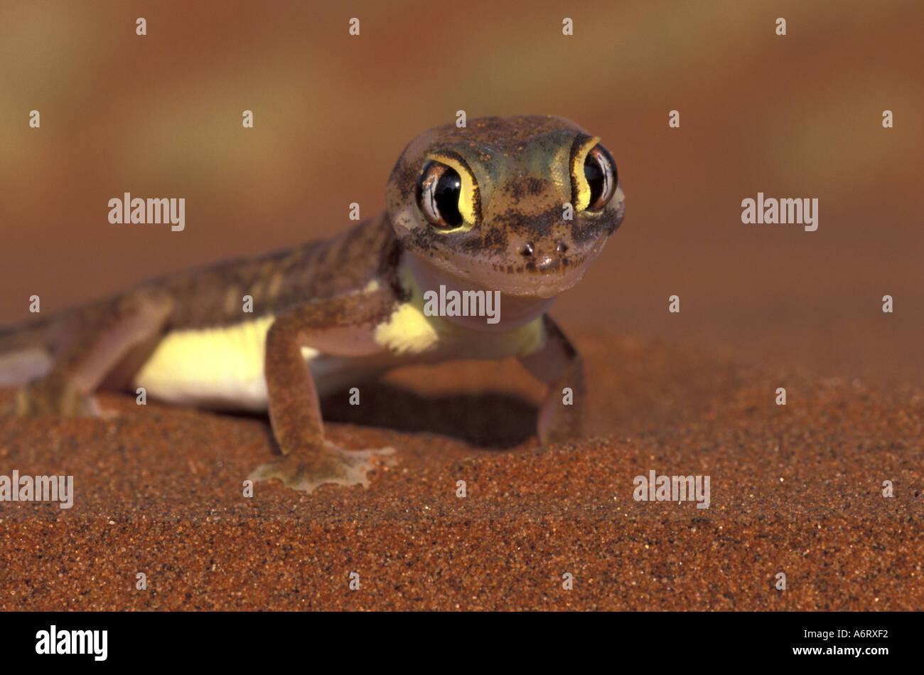 Africa, Namibia, Namib National Park. Web-footed Gecko (Palmatogecko rangei) Stock Photo