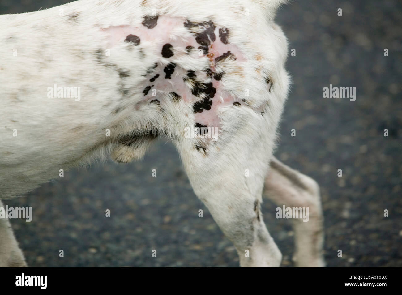 a feral dog with mange on funafuti tuvalu stock photo 11642989 alamy