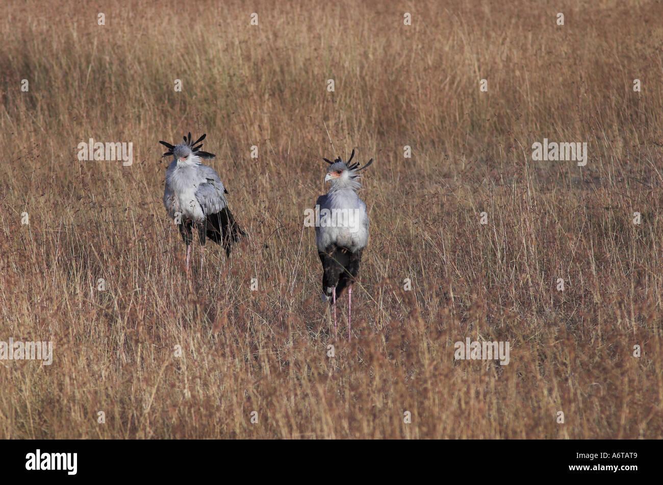Secretary Birds in Kenya, East Africa Stock Photo