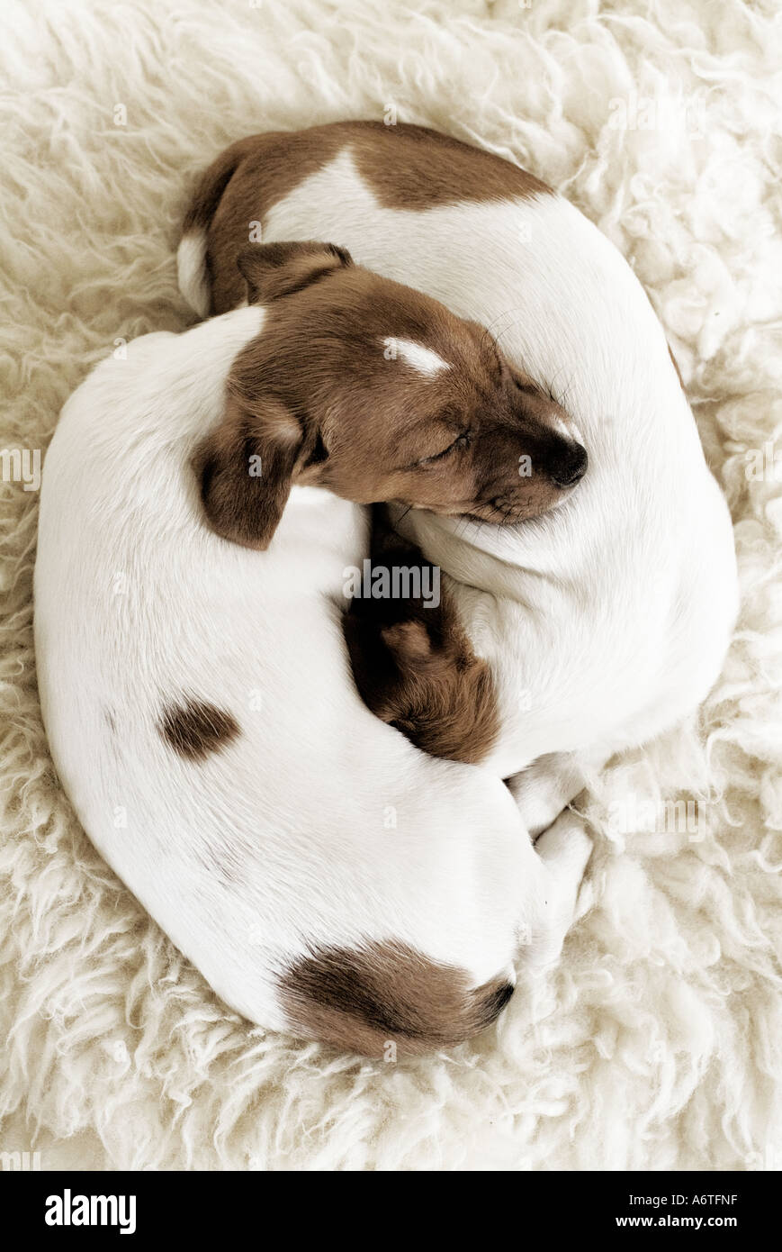 Two Jack Russell puppies sleeping - Stock Image