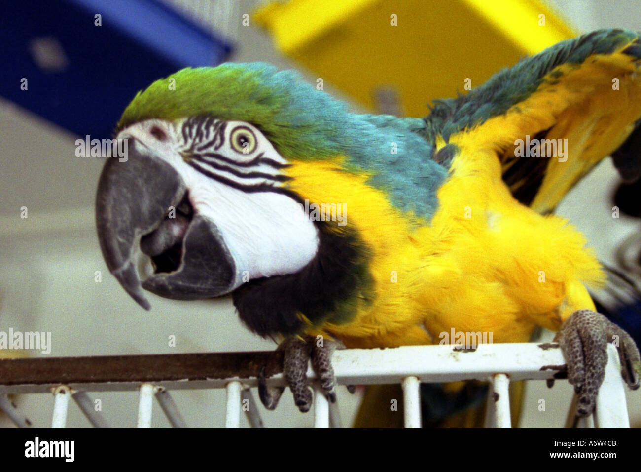 Blue and yellow macaw crouching down on cage in petshop - Stock Image