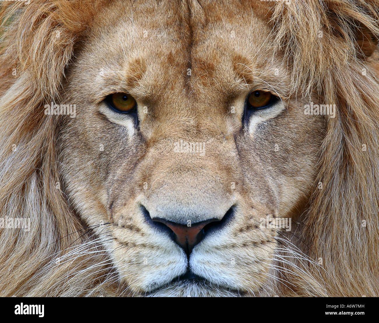 Portrait of a lion - Stock Image