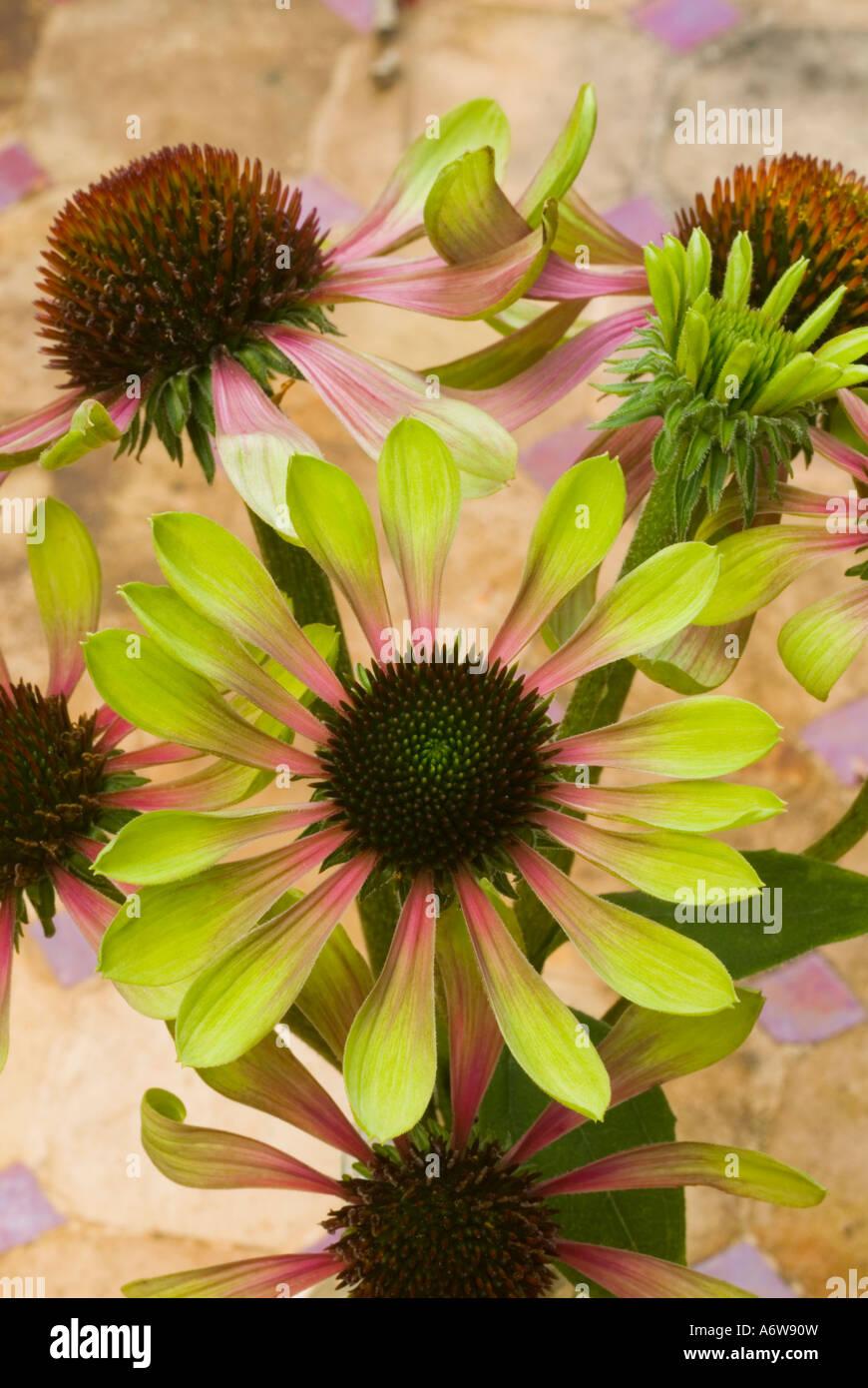 Echinacea purpurea 'Green Envy'™ (Green Purple Coneflowers) flowers arranged against pinkish background - Stock Image