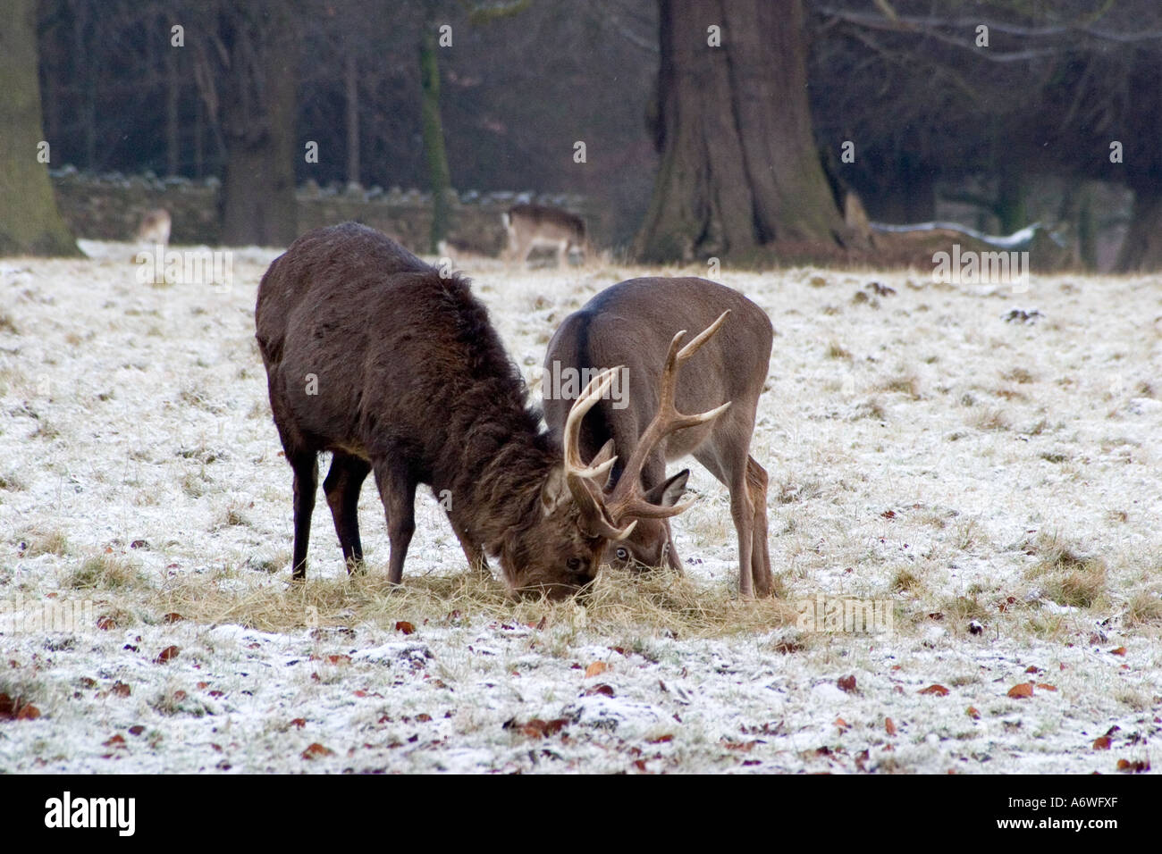 Deer in the snow at Rudding Park, Fountains Abbey, Dec 2006 Stock Photo