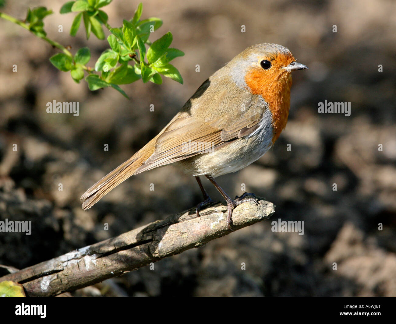 A robin sitting on a branch, in a garden. - Stock Image