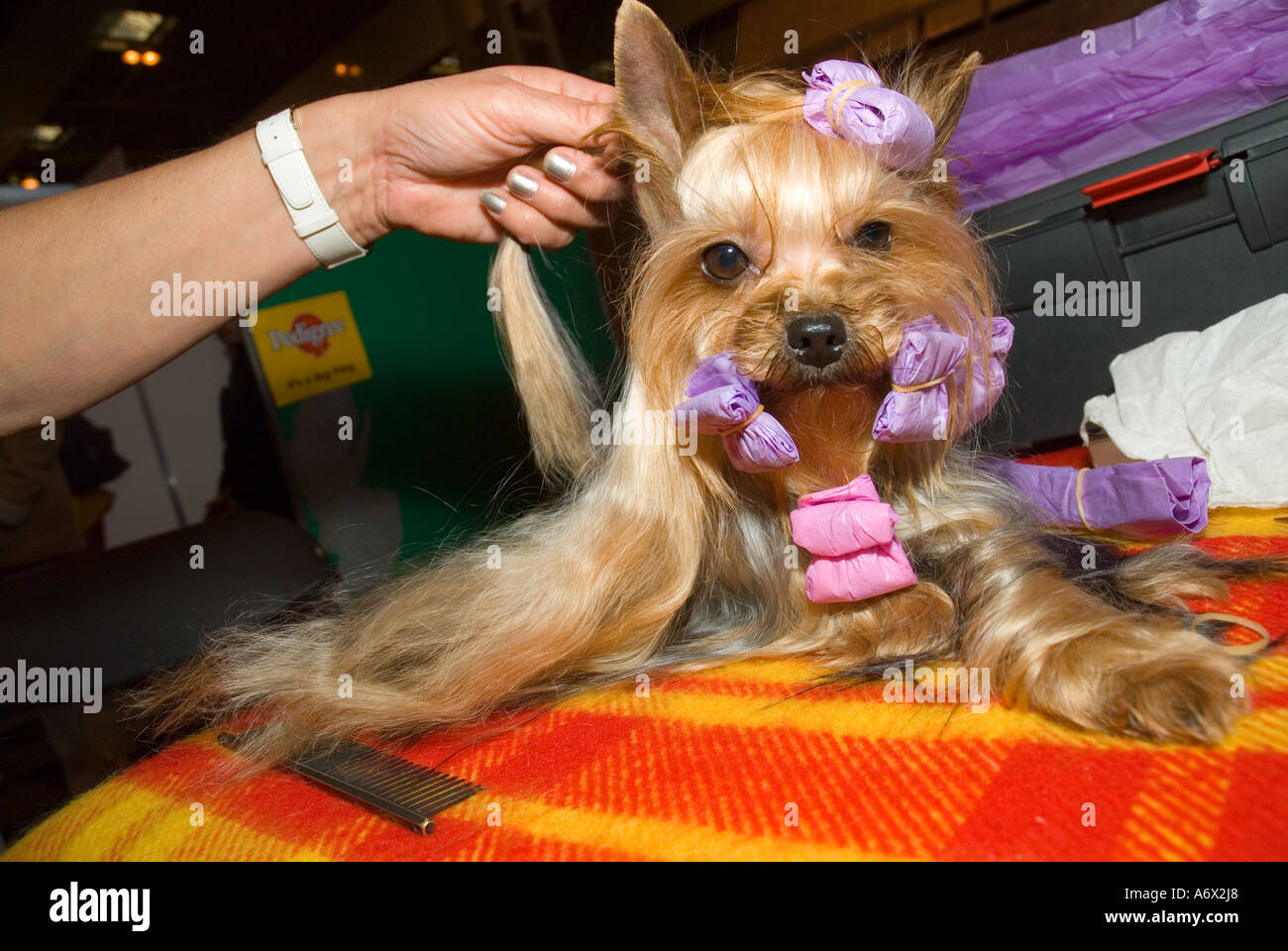 A Yorkshire Terrier being groomed at Crufts - Stock Image