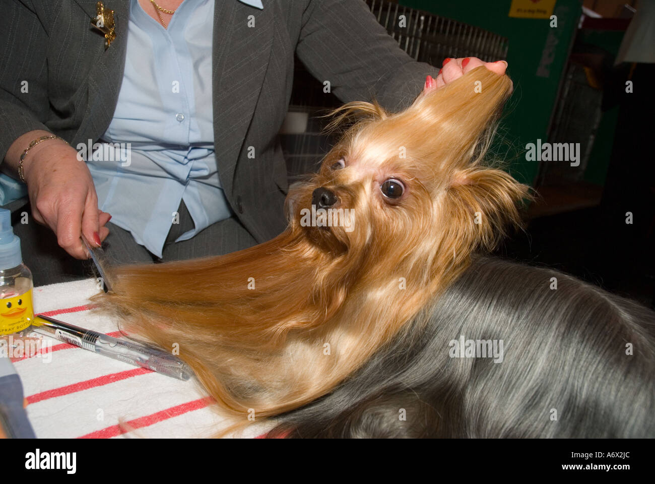 A Yorkshire Terrier being groomed - Stock Image
