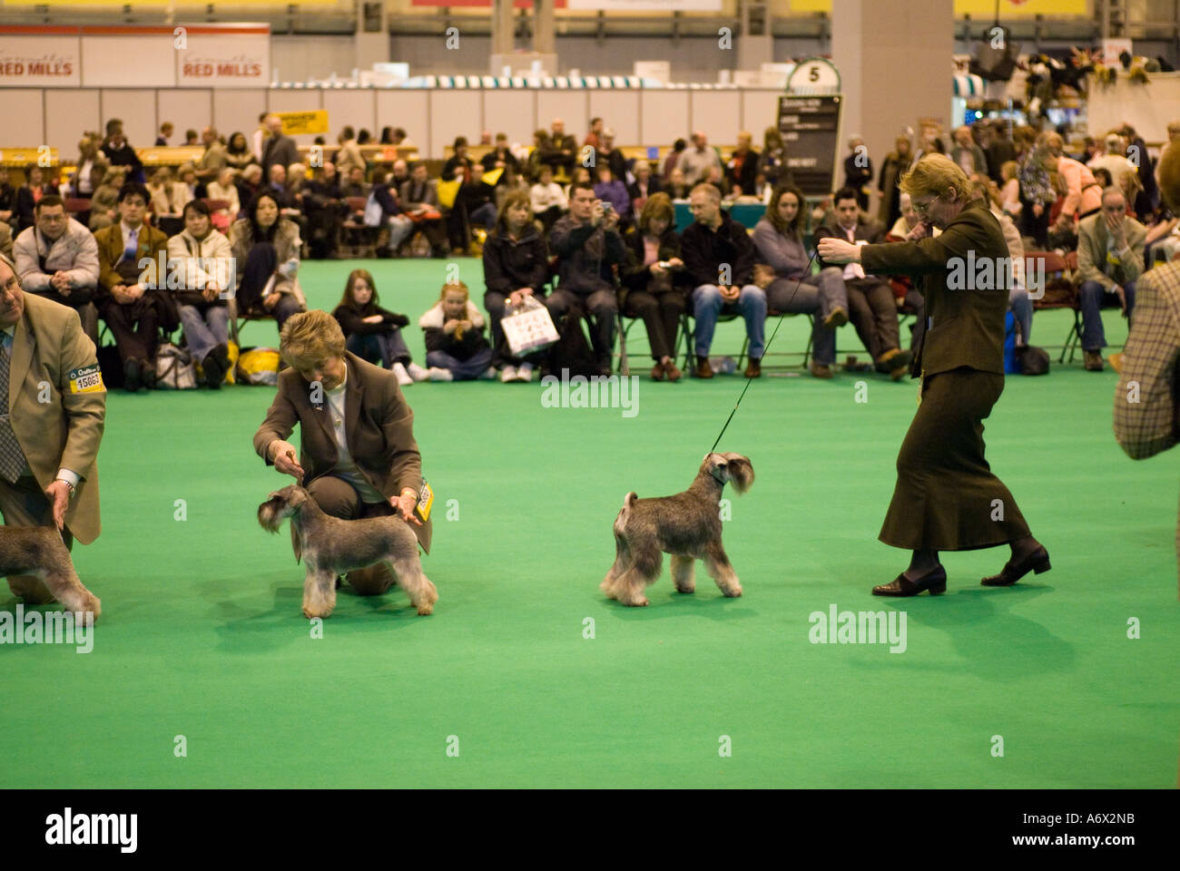 Judging of the Miniature Schnauzer dog breed at Crufts - Stock Image