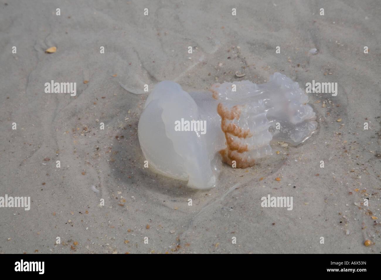 Florida Jellyfish Stock Photos & Florida Jellyfish Stock