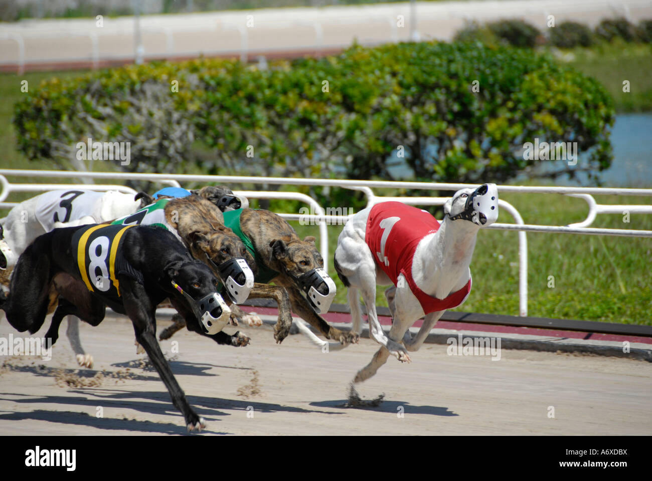 Greyhound dog racing at the Sarasota Florida FL Kennel Club - Stock Image