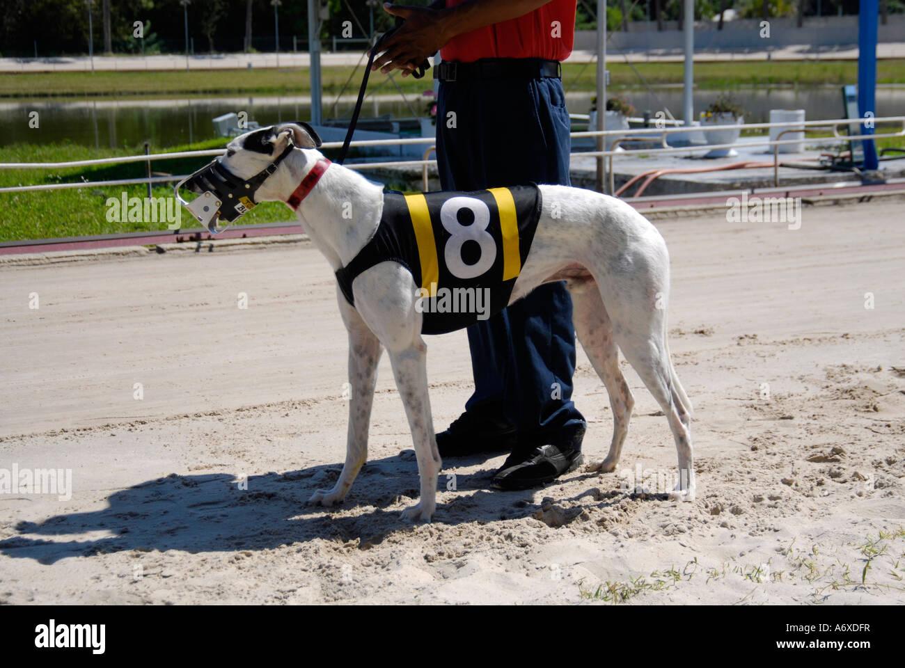 Greyhound dog racing at the Sarasota Florida FL Kennel Club - Stock Image