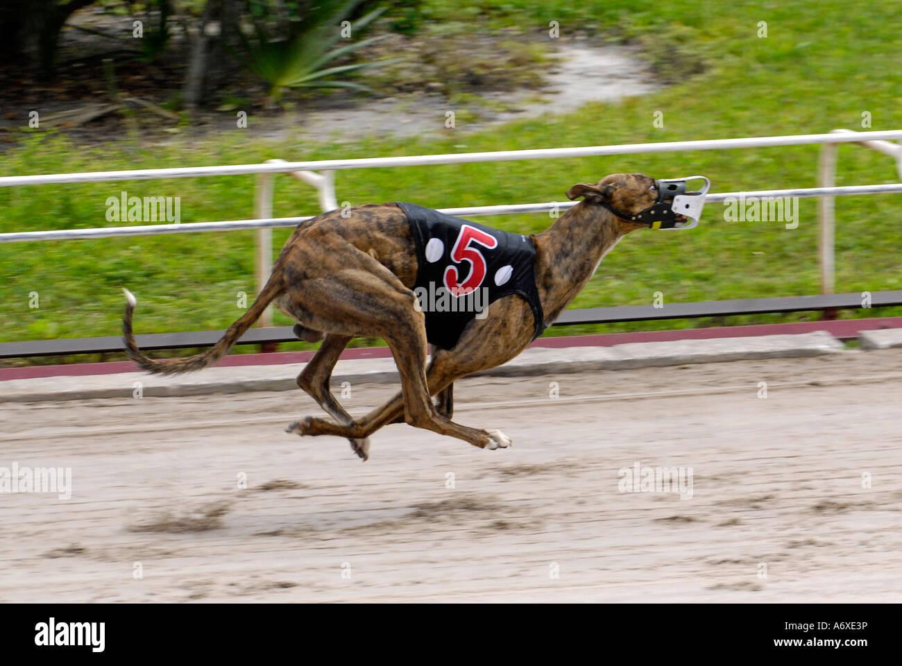 sarasota dog racing
