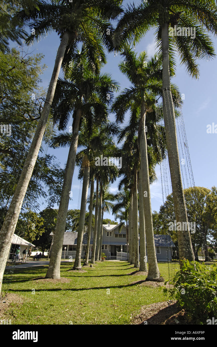 Southwest Ft Fort Meyers Myers Florida FL Edison and Ford Winter Estates Royal Palm Trees - Stock Image