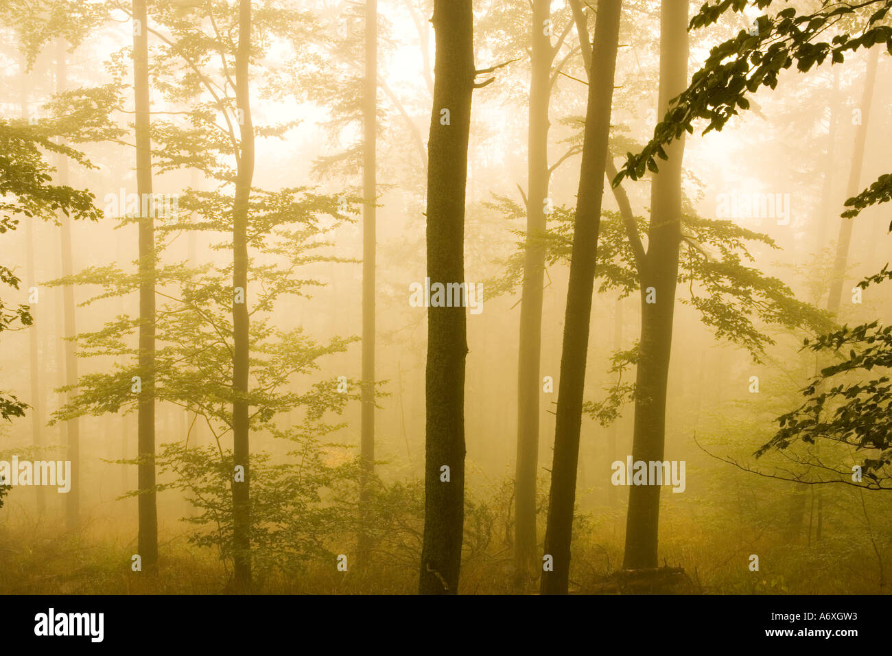 UK Hampshire New Forest pine trees in mist Stock Photo