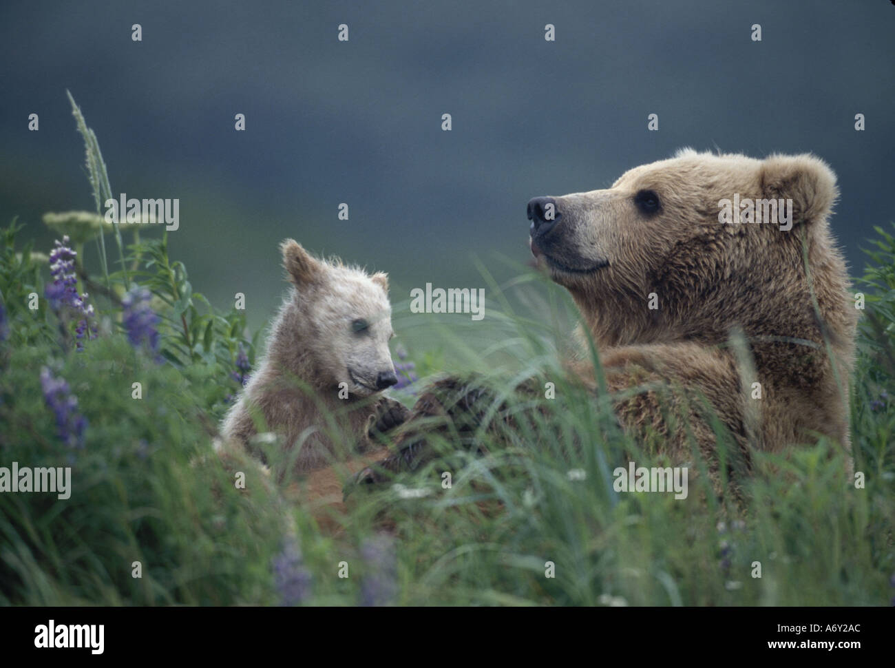 Sow Grizzly Cubs in Grass Hallo Bay Katmai NP Alaska - Stock Image