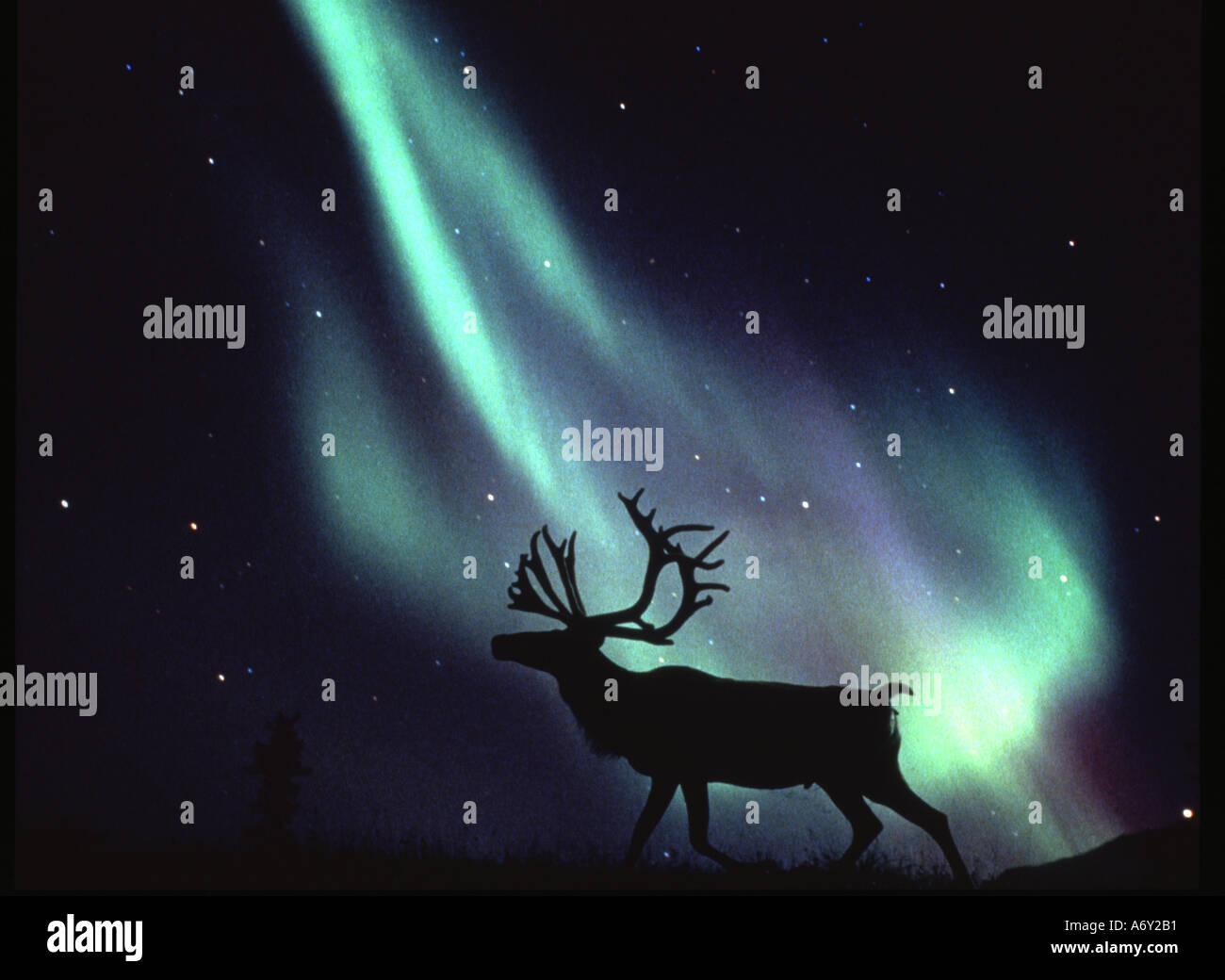 Caribou silhouette with Northern Lights Alaska Aurora Borealis Barren Ground Night - Stock Image