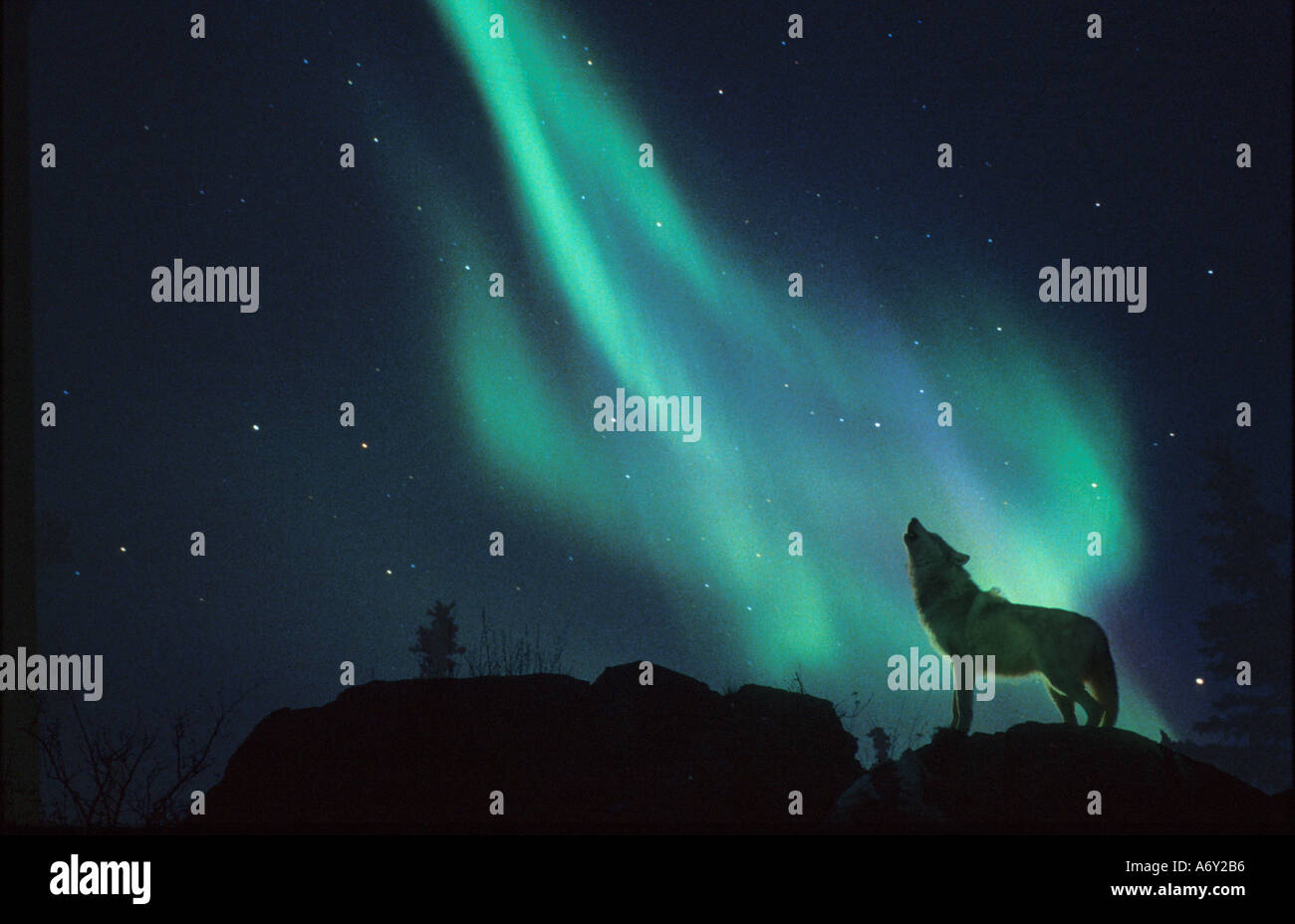 AK Wolf Howling on Ridge Northern Lights Composite Night Blue Green Scenic Landscape - Stock Image