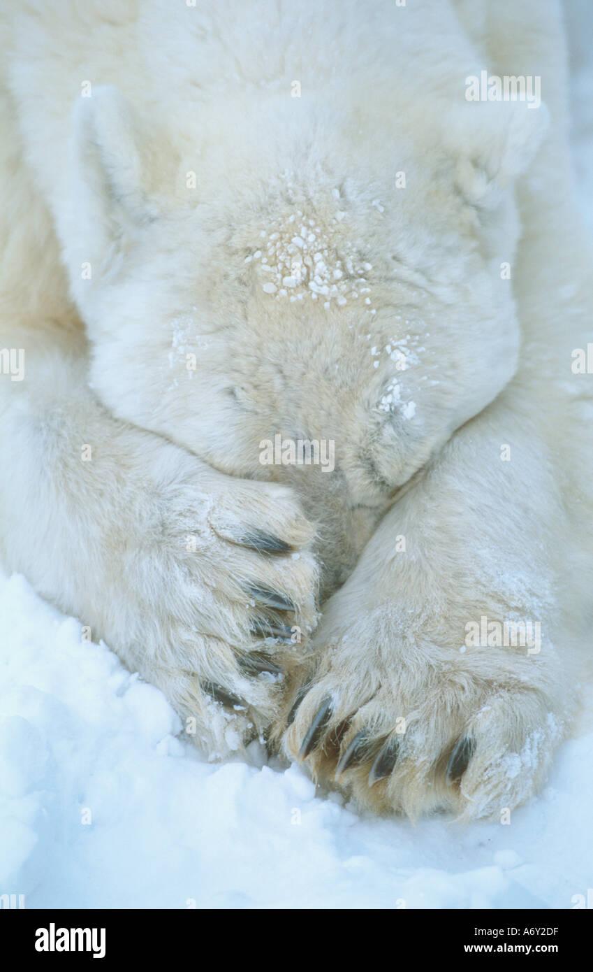 Polar Bear paws cover face Cape Churchill Manitoba Canada winter portrait - Stock Image