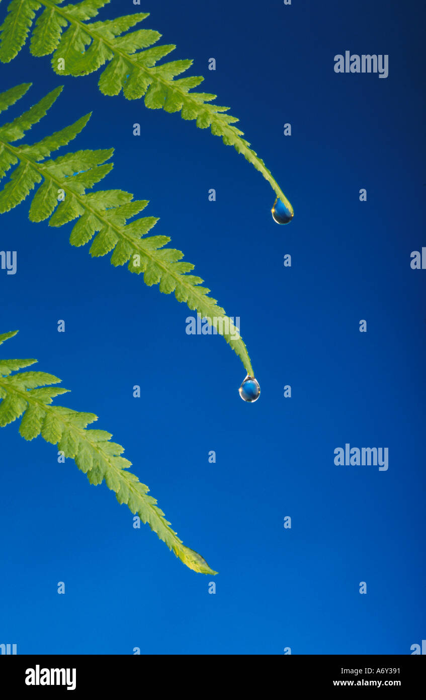 Close up of Native Fern w Water Droplets on Ends Studio - Stock Image